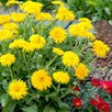 Calendula Seeds - Porcupine Yellow