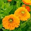 Calendula Seeds - Dandy