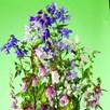 Campanula Seeds - Cottage Garden Mix
