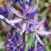 Camassia Bulbs - leichtlinii Caerulea