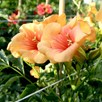 Campsis t. SUMMER JAZZ® 'Gold'