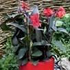 Canna Plant - Cannova Bronze Scarlet