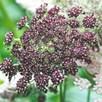 Flowering Carrot Seeds - Dara