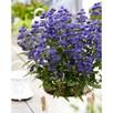 Caryopteris cland. 'Grand Bleu'®