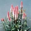 Celosia Seeds - Flamingo Feather