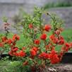 Chaenomeles speciosa 'Orange Storm' Proven Winners® (PBR)