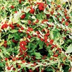 Strawberry Sticks (Chenopodium) Seeds