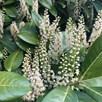 Prunus laurocerasus Rotundifolia (Cherry Laurel) Plant