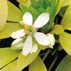 Choisya Plant - Sundance