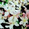 Clematis armandii - Appleblossom