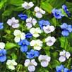 Commelina Seeds - Starry Starry Sky