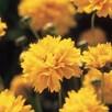 Coreopsis Plants - Early Sunrise