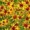Coreopsis Seeds - Mardi Gras