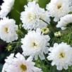 Cosmos Plants - White Knight