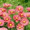 Cosmos Plug Plants - Xsenia