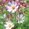 Cosmos Seeds - Tip Top Picotee