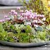 Cyclamen Plant - Coum