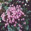 Cyclamen Hardy Seeds - Hederifolium Winter Cheer