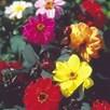 Dahlia Seeds - Redskin Mix