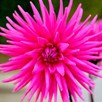Dahlia Plant - Pink Star