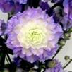 Delphinium Plant - Bolero