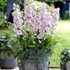 Delphinium Plant - Cinderella
