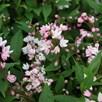 Deutzia Plant - Yuki Cherry Blossom Proven Winners®