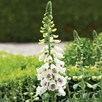 Digitalis Plant - Dalmatian White