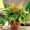 Dryopteris Erythrosora Plant