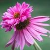 Echinacea Seeds - Doubledecker