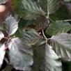 Fagus Atropurpurea (Purple Beech) Plant