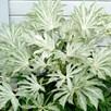 Fatsia japonica Spider's Web
