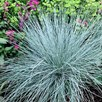 Prairie Seeds - Blue Fescue