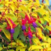 Fuchsia Plant - Genii