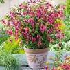 Fuchsia Plant - Tom Thumb