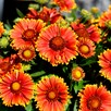 Gaillardia Spintop Orange Halo Plants