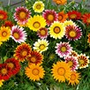 Gazania Plug Plants - Daybreak Mix