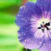 Geranium Plants - Rozanne