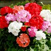 Geranium Plants - Palladium Mix