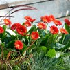 Gerbera Plants - Sweet Love