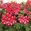 Geranium Mexica Ruby (6)