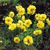 Geum Plant - Lady Stratheden