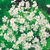 Gypsophila Seeds - Covent Garden White