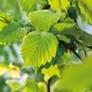 Corylus avelana (Hazel) Plant