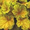 Heuchera Plant - Electra