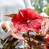 Hibiscus Carousel Red Wine