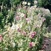 Alcea Plants - Cabaret