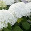 Hydrangea arborescens Plant - Strong Annabelle®