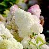 Hydrangea pan. Plant - Diamantino®