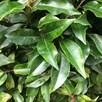 Prunus Lusitanica (Portugese Laurel) Plant